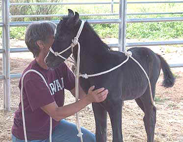 Halter lesson with his buddy Linda at 5 days _March 21, 2004 Diana Johnson photo