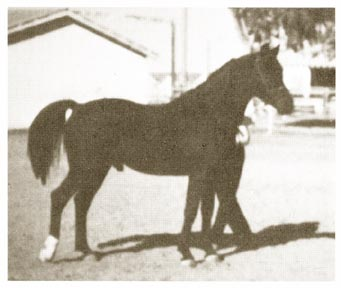 From Arabian Horse World September 1979 page 283