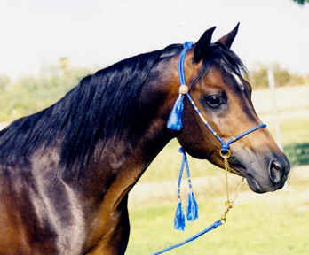 Abbas Ibn Lothar modeling a Peacock Blue halter.  He is a 1997 straight Babson stallion owned by Bruce and Diana Johnson of Bint Al Bahr Arabians