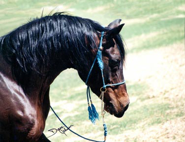 Ibn Mahrouf (Mahrouf x Serr Abba)  1977 Straight Babson Egyptian stallion.  See Babson Family section of www.BabsonArabians.com