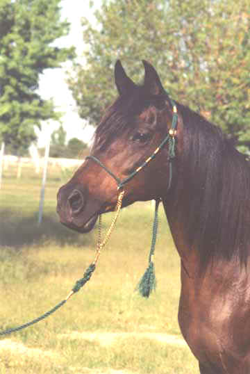 LCA Bint Serabah - Babson mare owned by Elizabeth Dawsari modeling the Dark Green halter - 1997 Diiana Johnson Photo