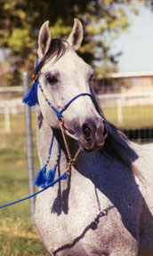 Masada el Fasab  -  (Fa Asar  X  Zahara Sabiya)  1991 Babson stallion  -  2003 Diana Johnson photo