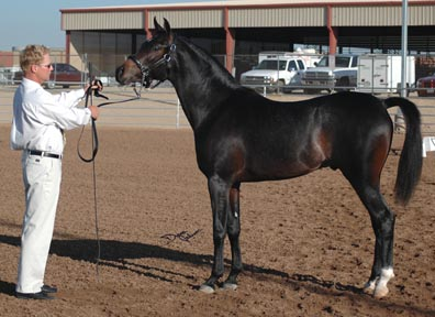 Serr Kazmeen - His first show, first place - only a yearling - Diana Johnson photo