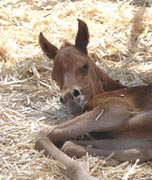 (Bedu Sabir x Charabs Sharifa) foaled March 9, 2007