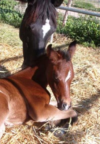Bint Roulett and her 2003 Bedu Sabir filly at 24 hours.