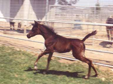 MK Serra Sabbah (Ibn Sabbah Bedu X AK Serramah) showing off her athletic side!  -  May 2002 Julie Maruyama Photo
