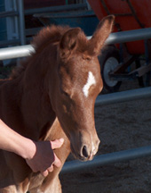 2004 St Babson colt at about 24 hours  (Abbas Ibn Lothar x SSH Serahsaafa) - Diana Johnson photo