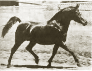 Fa-Serr trotting in the stallion paddocks at the Babson Farm.  Photographer not known.
