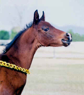Fabah Serr - a 2001Babson colt.  Notice how the focal length setting blurs the fence and background.  The foral collar is used to keep the colt from leaving as well as adds a touch of color. - 2001 Diana Johnson photo
