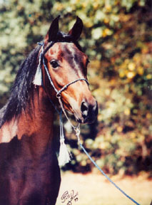 Bint Bint Serabah was bred by Elizabeth Dawsari and is owned by Elaine Yerty.  1999 Polly Knoll photo