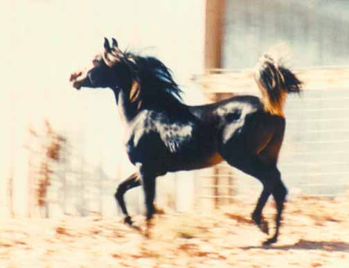 Kamal Ibn Fabo at 3 yrs - c  Diana Johnson 1990