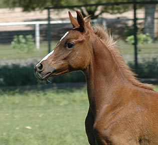 Ashkar El Khebir - 3 1/2  months old - note the flaxen mane coming in!